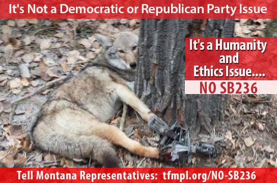 photo of coyote in trap - all paws in trap - It's a Humanity and Ethics Issue...NO SB236