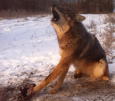 Photo of coyote in trap howling in pain, suffering and fear