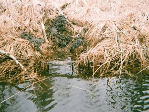 Photo of hidden trap in water in Montana. #bantrapping