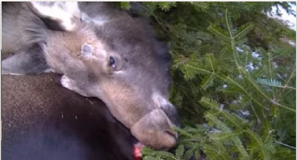 Photo dead moose in trappers snare
