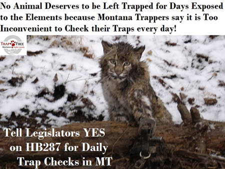 Photo of a bobcat in a trap suffering from cold and pain. Yes to  HB287 for daily trap checks