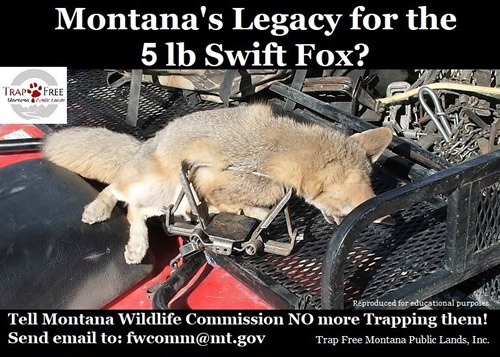 Photo of swift fox in a trap - Montana's legacy for the 5 pound swift fox?