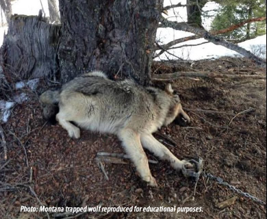 wolf in trap - 83 indiscriminate wolves were reported trapped and killed for recreational and commercial purposes during the wolf trapping season 12/15-2/28 in Montana